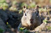 Califronia Ground Squirrel