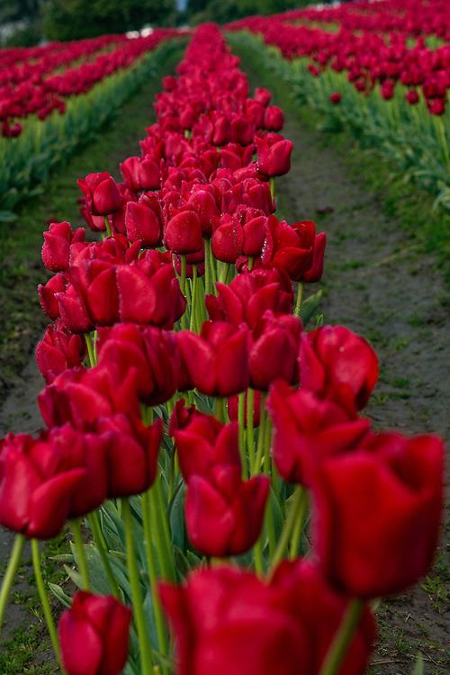 A flower farm field in the Skagit Valley of Western Washington, USA .