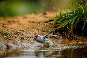 Black-crested Titmouse bathing