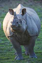 A front view close up of an Indian rhinoceros ( Rhinoceros unicornis ) looking into the camera , Kaziranga National Park, Assam, India