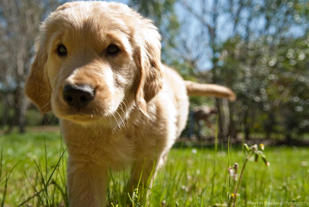 10-week-old golden retriever puppy
