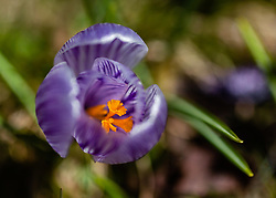 THEMENBILD - der Frühlings-Krokus (Crocus vernus), auch Frühlings-Safran genannt, ist eine Pflanzenart aus der Gattung der Krokusse (Crocus) innerhalb der Familie der Schwertliliengewächse (Iridaceae), aufgenommen am 17. März 2019, Kaprun, Österreich // The spring crocus (Crocus vernus), also called spring saffron, is a plant species of the genus crocus (Crocus) within the family of the irises (Iridaceae) on 2019/03/17, Kaprun, Austria. EXPA Pictures © 2019, PhotoCredit: EXPA/ Stefanie Oberhauser