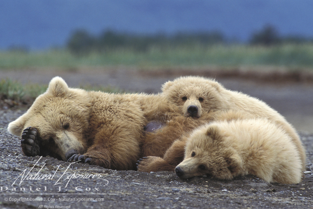 Alaskan Brown Bear (Ursus middendorffi) mother lying with her two cubs. Alaskan Peninsula