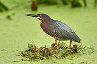Green Heron (Butorides virescens),  Green Cay Nature A   Photo: Peter Llewellyn