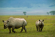 Black rhino and calf, Ngorongoro Conservation Area, Tanzania.