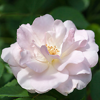 Morden Blush rose (Rosa 'Morden Blush')