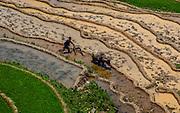 Vietnamese man in terraced rice fields ploughing with a water buffalo, Northern Vietnam, near Sapa.