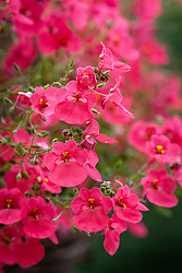 Diascia Red Ace syn. 'Hecrace'