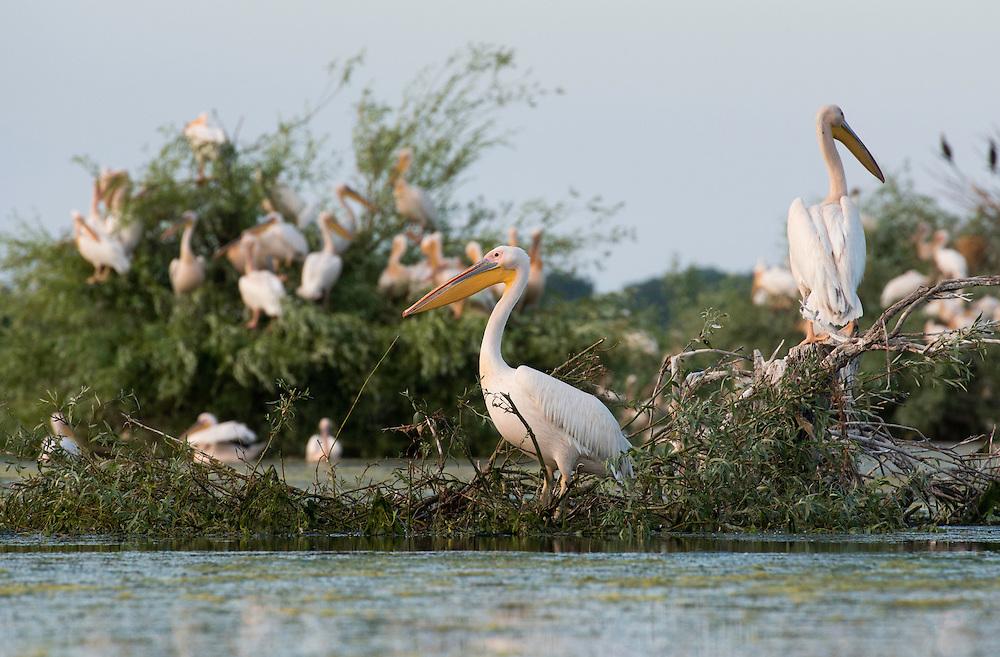 White pelican (Pelecanus onocrotalus) gathering in a small lake of the aquatic komplex Somova-Parches, close to Somova village, upper Danube Delta, Romania.
