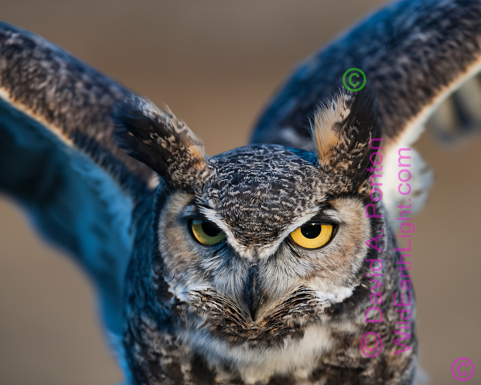 Great-horned owl portrait, wings raised, © 2005 David A. Ponton