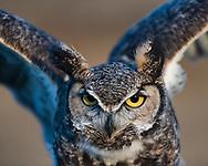 Great-horned owl portrait, wings raised, © 2005 David A. Ponton