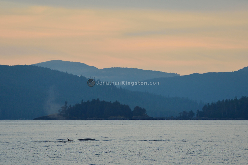A fin whales, earths second largest animal, swims in Hecate Straight at sunset, Haida Gwaii, British Columbia.