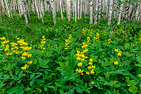 Golden Banner  Mountain Golden Pea [Thermopsis montana] carpet floor of Aspen [Populus tremuloides] grove; Kebler Pass, Gunnison NF, Colorado