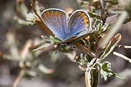Plebejus emigdionis - San Emigdio Blue