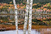 Peeling trunks of white birch trees grow in front of fall foliage colors reflected in Upper Hadlock Pond, in Acadia National Park, on Mount Desert Island, near Bar Harbor, Maine, USA. Hike granite peaks and enjoy Atlantic coastal scenery. Originally created as Lafayette National Park in 1919, the oldest National Park east of the Mississippi River, it was renamed Acadia in 1929. During the last glacial maximum 21,000 years ago, glaciers measuring up to 9,000 feet thick cut into granite ridges, sculpting the fjord-like Somes Sound.