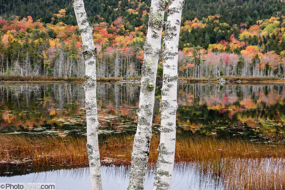White Birch Trunks Fall Foliage Reflection Upper Hadlock