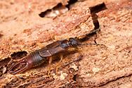 Lesser Earwig (Labia minor) male<br /> United States: Alabama: Tuscaloosa Co.<br /> Tulip Tree Springs off Echola Rd.; Elrod<br /> 5-Sep-2016<br /> J.C. Abbott #2864