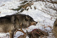 A black wolf snarls over a deer carcass in wooded winter habitat.