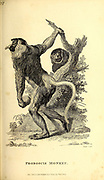 Proboscis monkey (Nasalis larvatus) or long-nosed monkey from General zoology, or, Systematic natural history Part I, by Shaw, George, 1751-1813; Stephens, James Francis, 1792-1853; Heath, Charles, 1785-1848, engraver; Griffith, Mrs., engraver; Chappelow. Copperplate Printed in London in 1800. Probably the artists never saw a live specimen