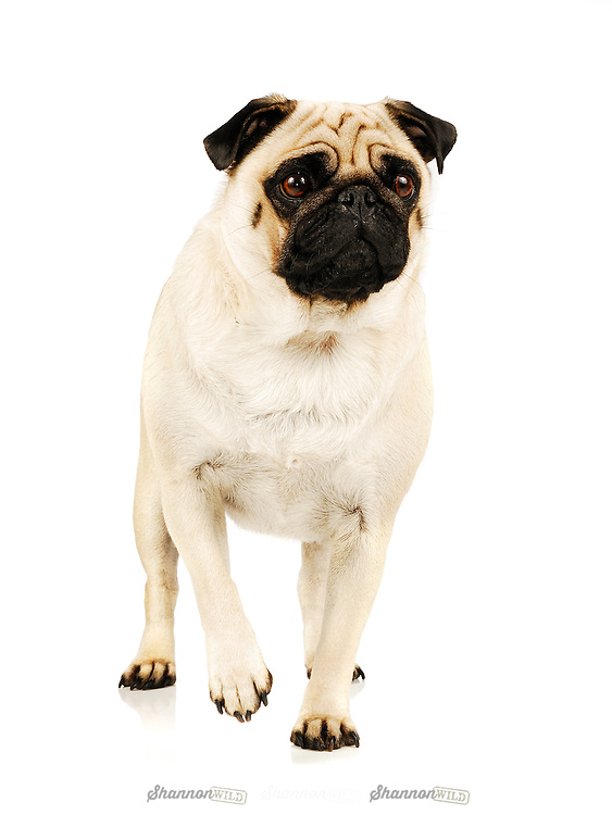 Pug with the characteristic fawn colouring.