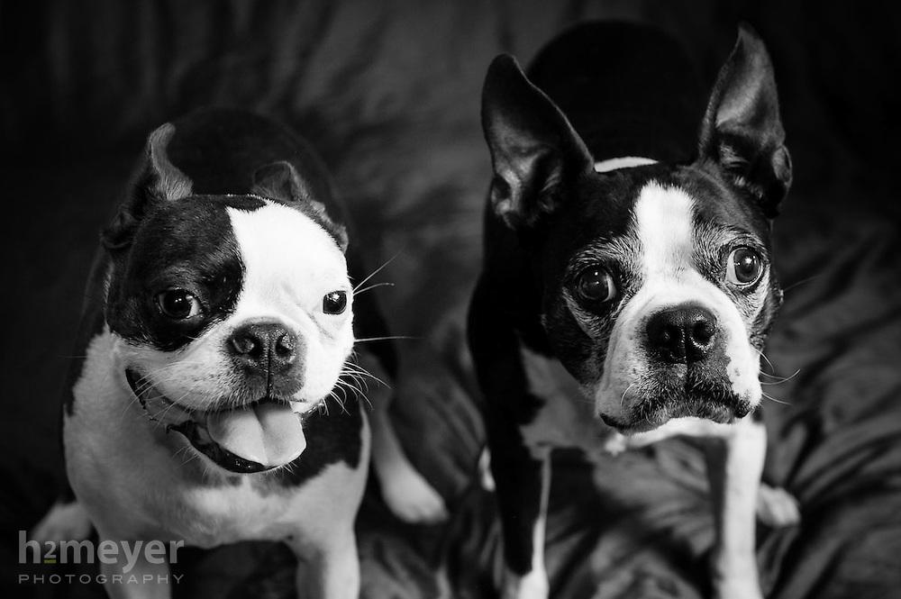 Boston Terrier pet portrait photography