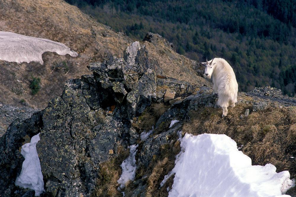 USA, Alaska, Chugach State Park, Mountain Goat (Oreamnos americanus) rests on rocky outcrop along Bird Ridge