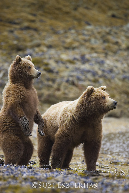 Alaskan Brown Bear<br /> Ursus arctos<br /> Mother and 1.5 year old cub watching other bear<br /> Katmai National Park, AK