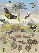 Life cycle of frogs from Metamorphosis insectorum Surinamensium (Surinam insects) a hand coloured 18th century Book by Maria Sibylla Merian published in Amsterdam in 1719