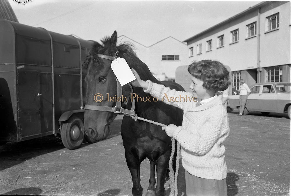 "06/08/1962<br /> 08/06/1962<br /> 06 August 1962<br /> Preparations for the Dublin Horse Show at the RDS, Ballsbridge, Dublin. Picture shows 12 year old Miss Julia Langdon of ""Storming"" Hillhall Road, Lisburn, with her pony ""Harbour Lights""."