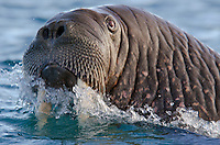 Eye contact with a male Walrus, Odobenus rosmarus in the water at Torelleneset in Hinlopen Strait on Nordaustlandet in Svalbard archipelago, Norway.