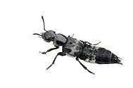 Hairy Rove Beetle (Creophilus maxillosus)<br /> TEXAS: Lamar Co.<br /> Camp Maxey National Guard Facilty; Paris<br /> 24-May-2012<br /> J.C. Abbott &amp; K.K. Abbott