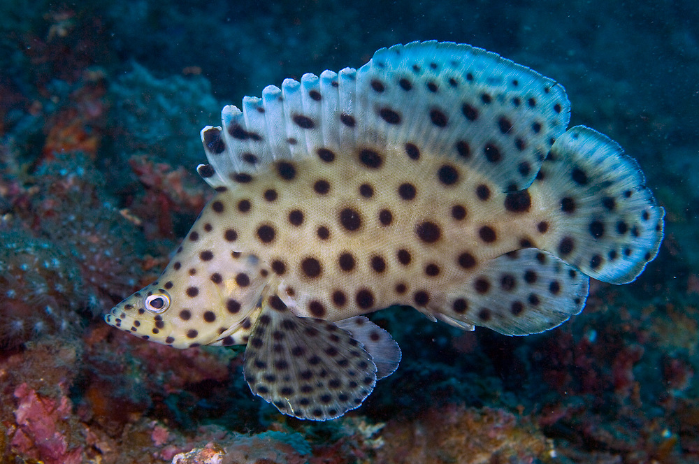 Juvenile Panther Grouper (Cromileptes altivelis), also known as Barramundi Cod, photographed in Lembeh Strait, Indonesia.