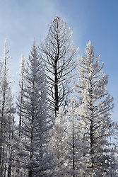 snow covered trees in New Mexico
