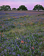 Field of Indian paintbrush (Castilleja indivisa), bluebonnets (Lupinus texensis), prickly pear (Opuntia sp.), and live oak trees (Quercus virginiana), Atascosa County, TX / #STX128