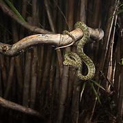 Kanburi Pit Viper (Trimeresurus kanburiensis) in Kanchanaburi, Thailand