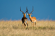 Two male impalas, Aepyceros melampus, ready to fight for dominance, Masai Mara National Reserve, Kenya.