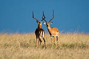 Two male impalas, Aepyceros melampus, ready to fight for dominance, Masai Mara National Reserve, Kenya.