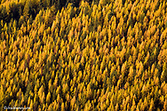 Forest of tamarack aka larch trees in autumn in the Flathead National Forest of Montana