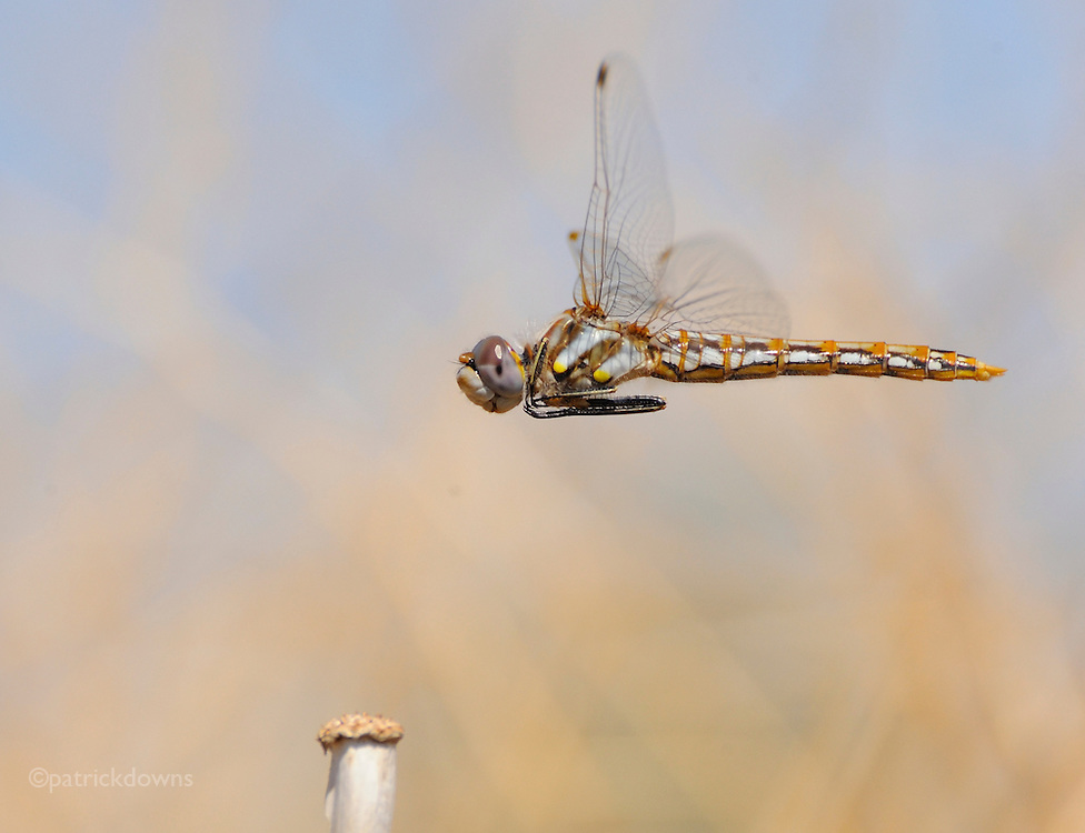 Dragonfly does a pass before coming in for landing.