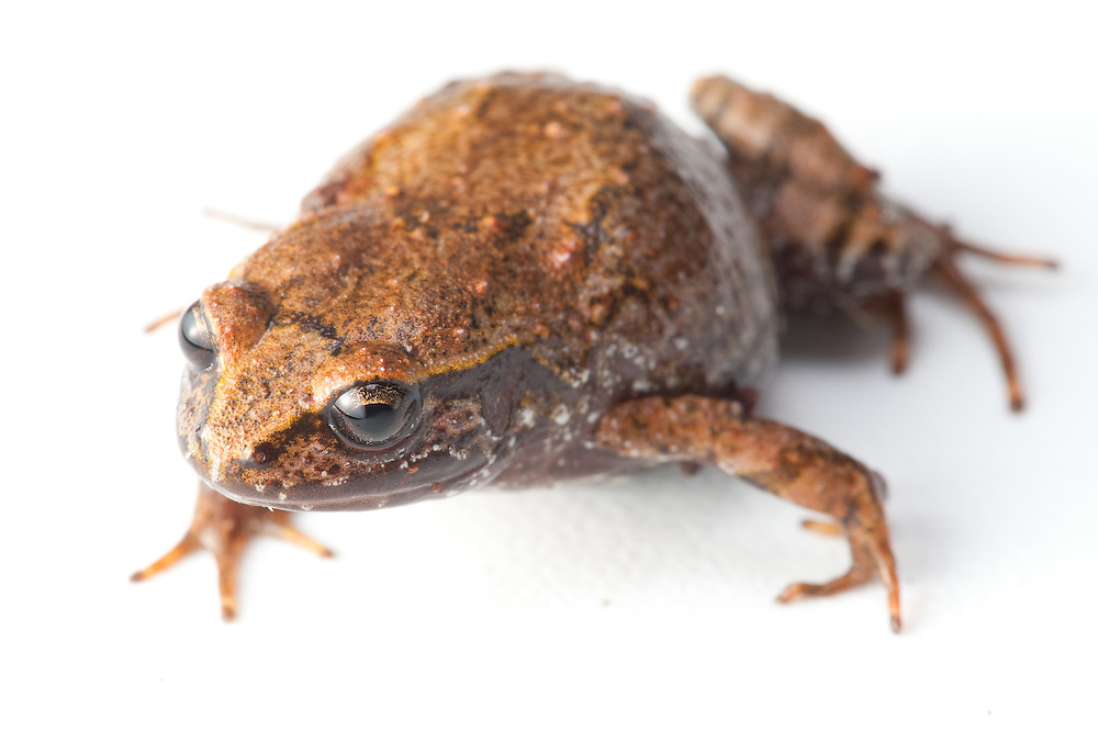 Macaya Dusky Frog, Eleutherodactylus ventrilineatus, a Critically Endangered species from the Massif de la Hotte, Haiti