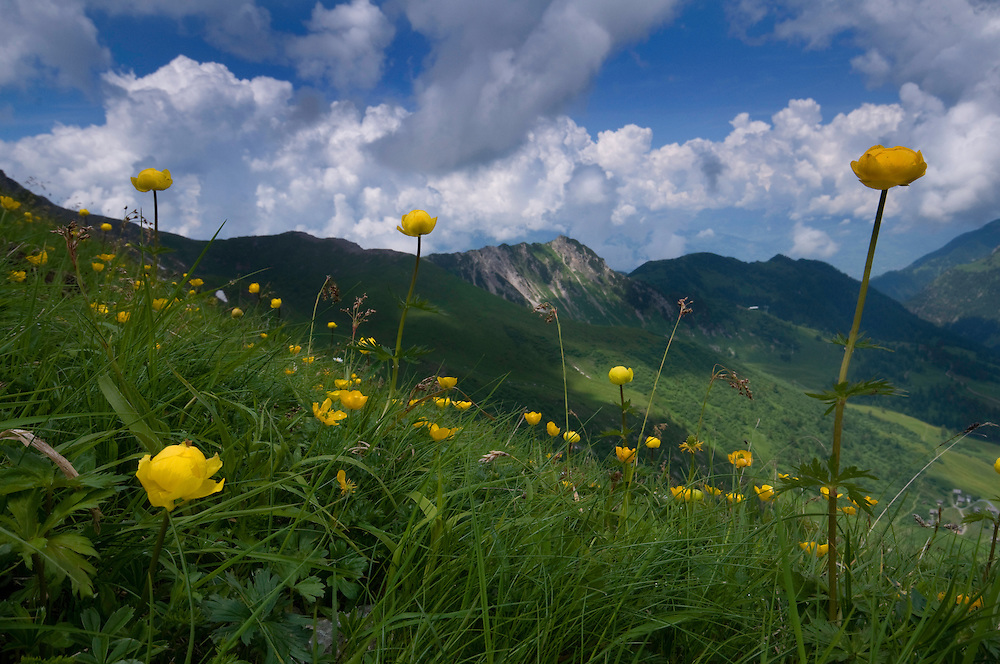 Trollius europaeus; Globe flower, Augstenberg, Liechtenstein
