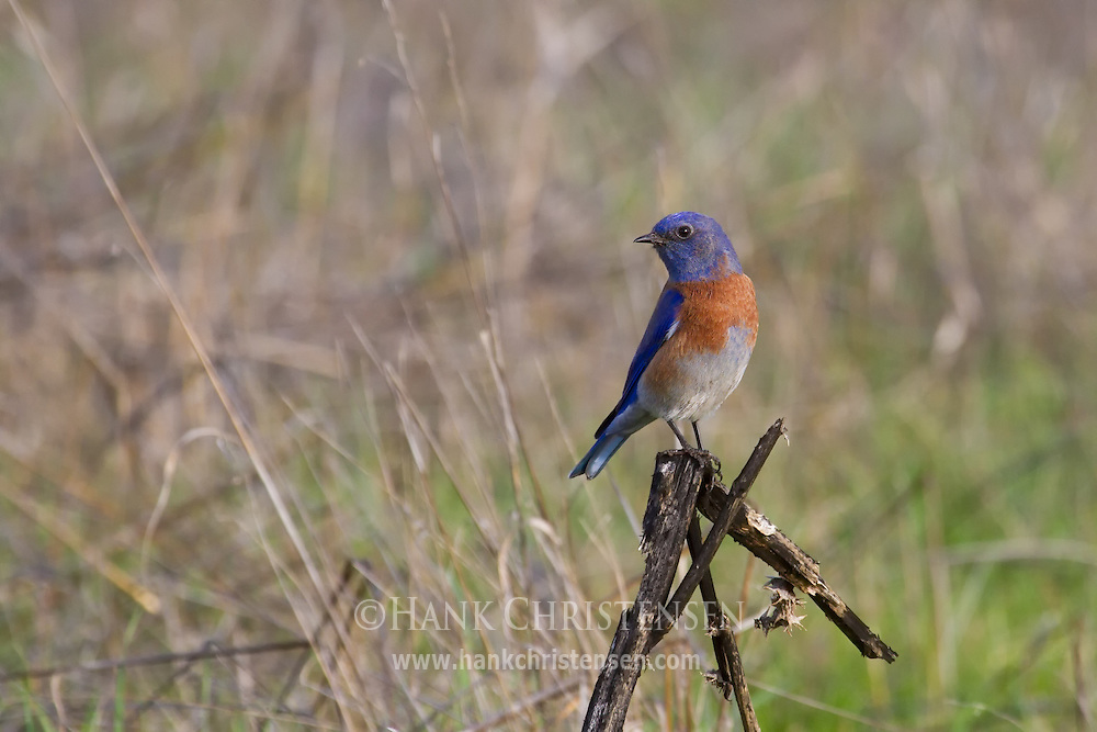 A western bluebird perches on a broken stick in the middle of a field
