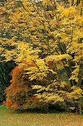 Acer palmatum var. cinnabarinum 'Senkaki' syn.Acer palmatum 'Sango-kaku' (Yellow) with Acer palmatum dissectum (red) at Hergest Croft, Herefordshire