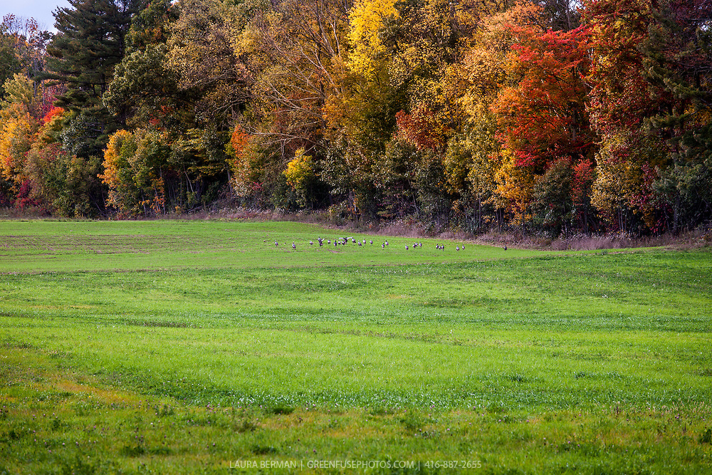A flock of wild turkeys on a green field in front of an autumn woods. ( Meleagris gallopavo)