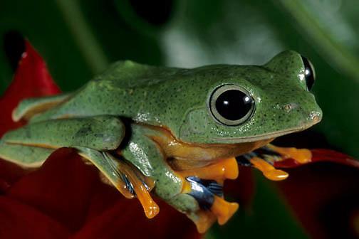 Ornate Gliding Tree Frog, (Rhacophorus Reinwandii) Indonesia. Captive Animal.