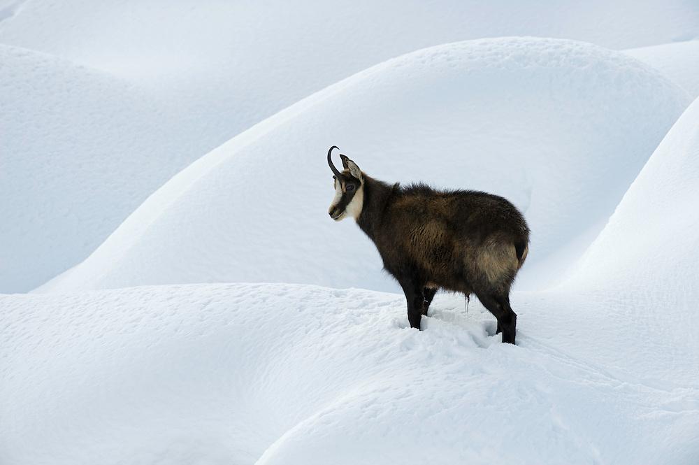 11.11.2008.Chamois (Rupicapra rupicapra).Gran Paradiso National Park, Italy