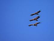 Griffon Vulture (Gyps fulvus)  in flight, Gamla, Israel