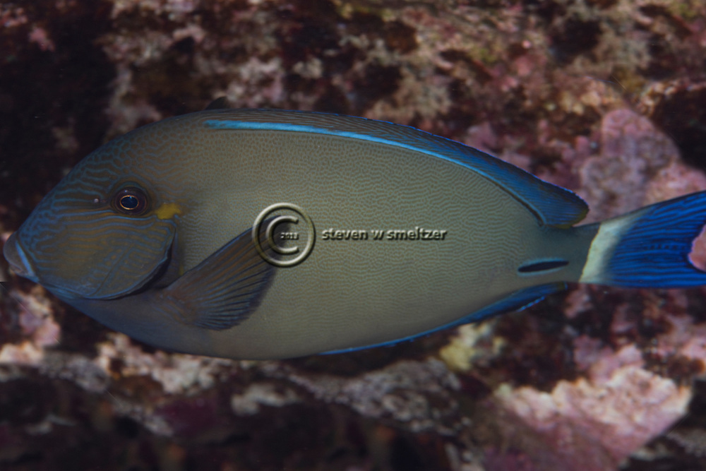 Ringtail Surgeonfish, Acanthurus auranticavus, Randall, 1956, Molokini Crater