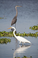 A great egret and a great blue heron fishing in the waters of Myakka River State Park in Sarasota, Florida.