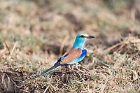 Abysinian Roller, Zakouma National Park, Chad
